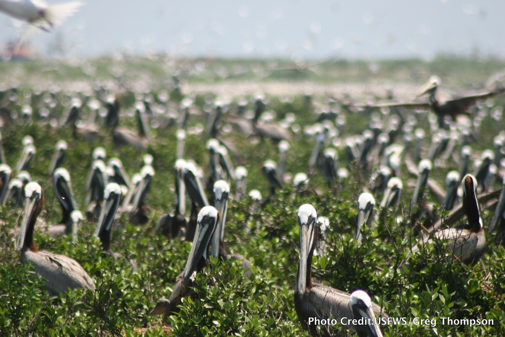 Brown pelicans sitting on nests at the Breton Island NWR